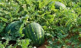 الحديدة: استمرار جني محصول البطيخ الأحمر