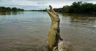 شاهد بالفيديو:ظهور رجل بين فكي تمساح!