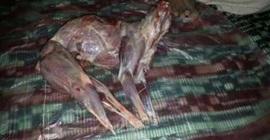 إب: القبض على جزار يبيع لحوم الكلاب