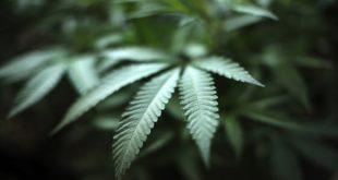 علماء يكتشفون مفتاح علاج سرطان مدمر في نبات شائع