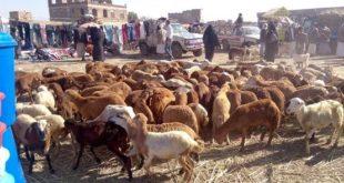 محافظة الحديدة ترفد اليمن بالثروة الحيوانية في زمن الحرب