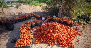 في الحديدة .. محاصيل ذات جودة تباع بثمن بخس